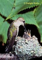 HU10-005x  Ruby-throated Hummingbird - female feeding nectar to  baby birds in nest  -  Archilochus colubris