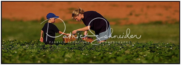 A mother and son pick strawberries from Patterson Farm, near Mooresville, NC. Model released.