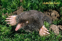 MB25-002z  Hairy-tailed Mole - digging - Parascalops breweri