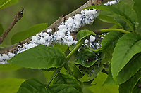 Blattlaus an Esche, mit Ameise, Ameisen, Prociphilus spec., Blasenläuse, Pemphigidae