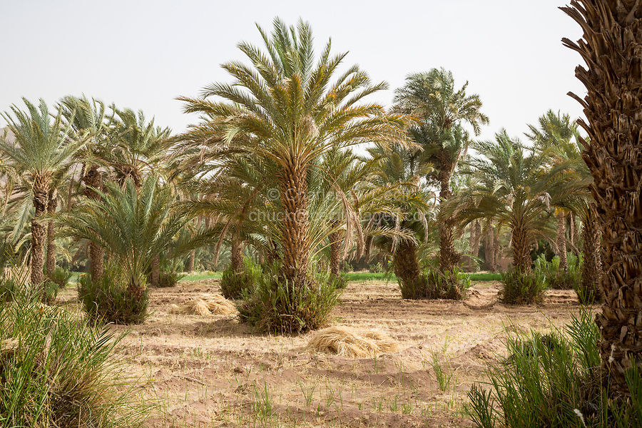Zagora, Morocco.  Small Farm Plots under Date Palms.