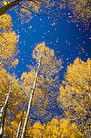 Aspen trees changing color lose thier leaves  in the fall in Colorado.