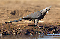 "The grey lourie is more commonly known as the Grey Go-Away Bird due to a call that sounds like the words ""Go Away!"""
