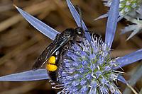 Borstige Dolchwespe, Scolia hirta, Scolia hirta hirta, Dolchwespen, Scoliidae, scoliid wasps