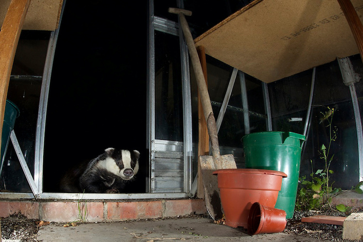 A badger (Meles meles) visiting a greenhouse in a garden in Bedfordshire
