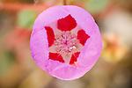 Desert five spot mallow (5 spot-Eremalche rotundifolia), Death Valley