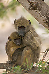 Chacma Baboon (Papio ursinus) juvenile holding young, Kruger National Park, South Africa