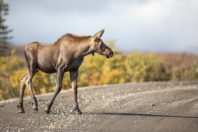 Moose calf walks across the Denali Park Road, Denali National Park, Alaska.