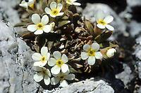 Dolomiten-Mannsschild, Androsace hausmannii, Rock Jasmine