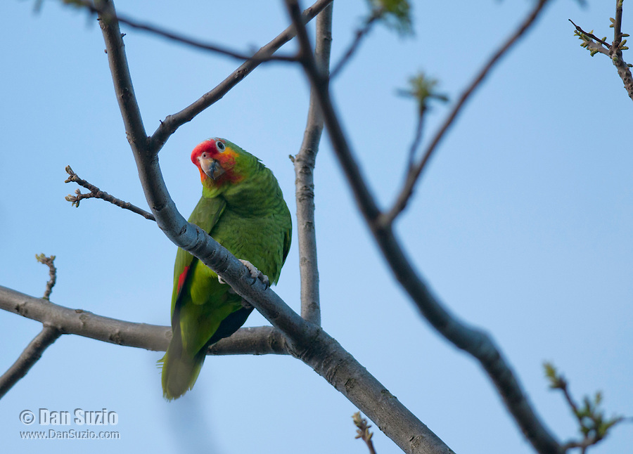 Red-lored parrot, Amazona autumnalis, perches in a walnut tree in Berkeley, California. Native to Central and South America. Several species of parrots have established feral populations in California.