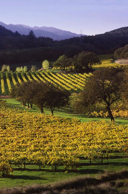 Autumn in Napa Valley vineyard