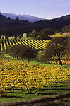 Autumn in Napa Valley vineyard