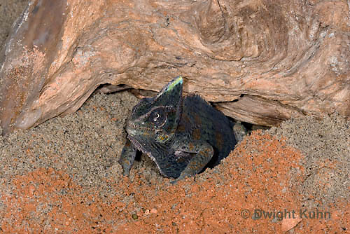 CH48-508z  Veiled Chameleon female digging in sand to lay eggs, Chamaeleo calyptratus
