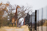 South African Giraffe (Giraffa giraffa giraffa) male at reserve fence, Greater Makalali Private Game Reserve, South Africa