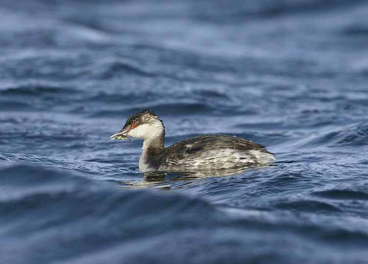 Slavonian Grebe Podiceps auritus - Winter. Feeding on Three-spined Stickleback. L 31-38cm. Buoyant little waterbird with beady red eye. Flattish crown and white-tipped, even-shaped bill (both mandibles are curved) allow separation from Black-necked. White patches on both leading and trailing edges of wings are seen in flight. Sexes are similar. Adult has reddish orange neck and flanks. Back is black and black head has golden-yellow plumes. In winter, has black upperparts and white underparts with clear demarcation between black cap and white cheeks. Juvenile is similar to winter adult. Voice Utters trills and squeals at nest. Status Scarce winter visitor to sheltered coastal waters. Rare breeding bird in Scotland, on shallow lochs with abundant sedges.