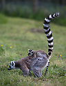 16/05/16<br /> <br /> &quot;Surely mum doesn't want me to climb up that!?&quot;<br /> <br /> Three baby ring-tail lemurs began climbing lessons for the first time today. The four-week-old babies, born days apart from one another, were reluctant to leave their mothers&rsquo; backs to start with but after encouragement from their doting parents they were soon scaling rocks and trees in their enclosure. One of the youngsters even swung from a branch one-handed, at Peak Wildlife Park in the Staffordshire Peak District. The lesson was brief and the adorable babies soon returned to their mums for snacks and cuddles in the sunshine.<br /> All Rights Reserved F Stop Press Ltd +44 (0)1335 418365