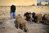 A man relieves himself near some sheep and goats at Grewal Farms, one of many wedding reception centres in Amritsar.