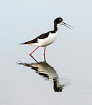 Hawaiian black-necked stilt (Himantopus mexicanus knudseni), seen at the Kealia Pond National Wildlife Refuge in Kihei, Maui