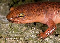 0610-0814  Northern Red Salamander, Pseudotriton ruber ruber  © David Kuhn/Dwight Kuhn Photography