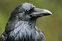 Common raven (Corvus corax). Icefields Parkway.<br />