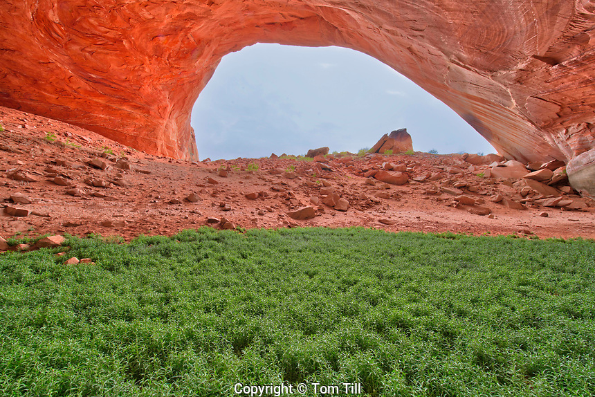 Alcove  enlarged by Lake Powell, Glen Canyon National Recreation Area, Utah, Esacaleante Arm, Plants growing inside alcove (cave)