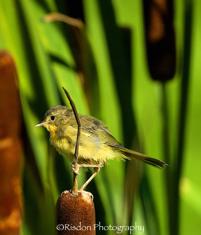 Common Yellowthroat on cattails