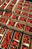 POLAND strawberry harvest, strawberries in basket / POLEN, Erdbeer Ernte, Erdbeeeren im Korb