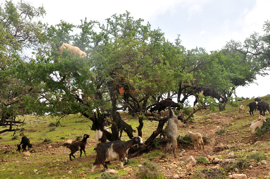 Goats eating fruits of Argan tree (Argana spinosa)