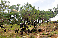 Goats eating fruits of Argan tree (Argana spinosa)
