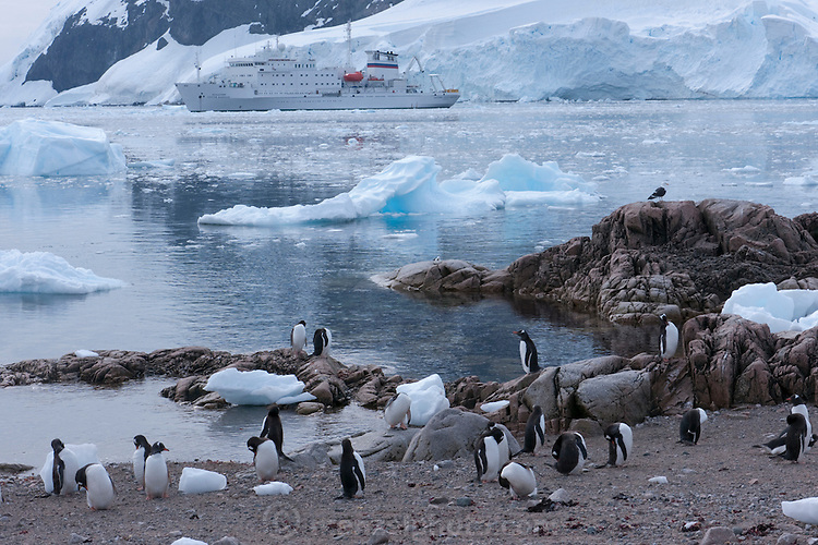 Gentoo Penguin colony in Neko Harbor, on the eastern shore of Andvord Bay. Antarctic Peninsula.