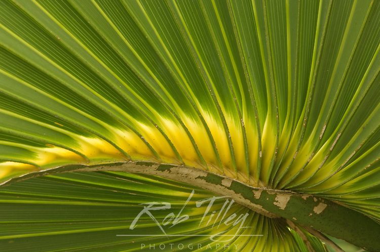 USA, FL, Sanibel, Cabbage Palmetto Leaf Detail (Sabal palmetto)