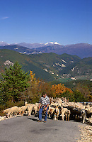 Provençal shepherd leading his sheep from summer grazing in the mountains to winter pasture in the traditional Alpine transhumance. Provence, France..