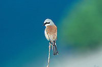 Red-backed Shrike, Lanius collurio, male, Oberaegeri, Switzerland, May 1995