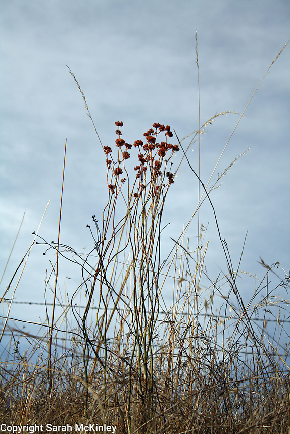 Rust-colored dry flowers and grasses stand before a beautiful October sky along Reynold's Highway outside of Willits in Mendocino County in Northern California.