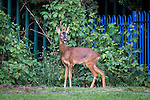 "© Joel Goodman - 07973 332324 . Stockport , UK . The deer stands by bushes on the edge of the playground . A wild deer which was discovered in a park by the busy Manchester Road in Stockport has been rescued after three days . The park was closed and locked by Stockport Council officials on Monday 24th June after the young male started bolting across the playing field and playground and butting its head and antlers against railings . But with the gates locked , the young animal could not escape . For three days local people came out to watch the deer from the fence as it hid in bushes around the edge of the park , occasionally venturing out across the playing pitch and in the direction of the busy A626 road . The landlord at "" The Hind's Head "" pub opposite , Stuart Kirkham , a Manchester United fan , named the beast "" Ronaldo "" because of its red colouring . After three days , with no hope of escape under its own steam and with the park still closed , the RSPCA and council brought in a veterinary surgeon to help . The animal was tranquilised and driven to nearby Reddish Vale Country Park , where he was brought round and released back in to the wild . Photo credit : Joel Goodman"