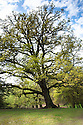 English or common oak (Quercus robur syn. Quercus pedunculata). Also called the Pedunculate oak.