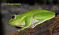 FR24-517z  Chinese Gliding Frog, Polypedates dennysi