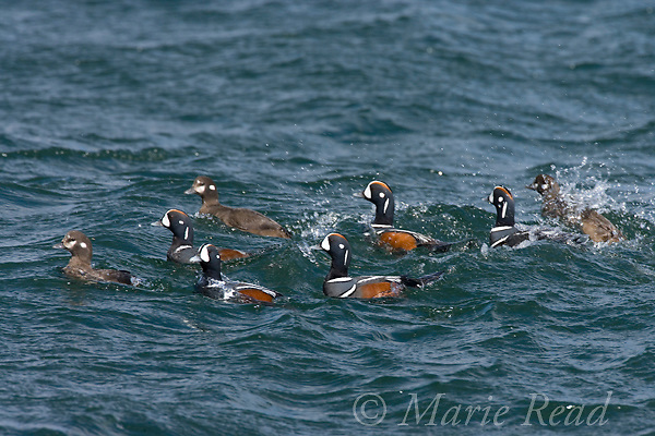 Harlequin Ducks (Histrionicus histrionicus), breeding plumage, courting group of males following females, Barnegat Inlet, New Jersey, USA