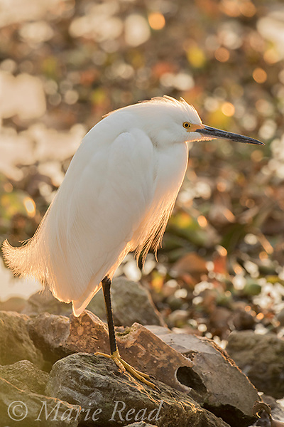 Snowy Egret (Egretta thula) adult in breeding plumage, perched on rock, backlit with sun shining through plumes, Lakeland, Florida, USA