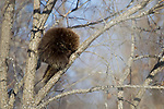 Common Porcupine (Erethizon dorsatum) sleeping in tree, Sax-Zim Bog, northern Minnesota