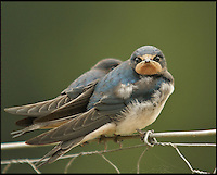 BNPS.co.uk (01202 558833)<br /> Pic: AdamTatlow/BNPS<br /> <br /> Rare close up of grounded Swallows.<br /> <br /> Cotswold gamekeeper shoots amazing pictures of British wildlife - without the aid of long lenses and elaborate techniques.<br /> <br /> The incredible photos may look like they have been shot from miles away - but amazingly Adam Tatlow is actually just feet away from his wild subjects.<br /> <br /> The 46-year-old's affinity with nature has allowed him to get up close and personal with some of the UK's most endearing wildlife.<br /> <br /> Adam's trusty camera is never far from his side as he goes about his work as a gamekeeper on an estate in the Cotswolds countryside.<br /> <br /> He has built up a stunning portfolio of snaps that lift the lid on rarely-seen birds and animals found in forests throughout the country.<br /> <br /> Adam's subjects have included timid fox cubs, bounding hares, inquisitive hedgehogs and colourful kingfishers.<br /> <br /> He is so at one with nature that he knows how to call animals to him, and often gets within 30ft of them.
