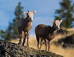 Bighorn sheep lambs.  Western Montana.