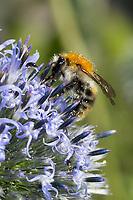 Ackerhummel, Acker-Hummel, Hummel, Bombus pascuorum, Bombus agrorum, Megabombus pascuorum floralis, Blütenbesuch an Kugeldistel, Nektarsuche, Bestäubung, common carder bee, carder bee, le bourdon des champs