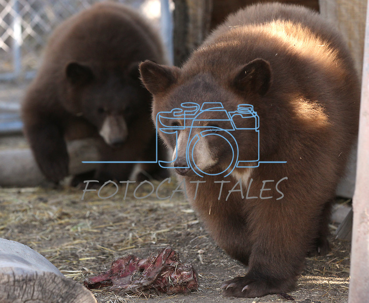 Two young bear cubs at the Animal Ark Wildlife Sanctuary in Reno, Nev., on Saturday, Oct. 21, 2011. .Photo by Cathleen Allison
