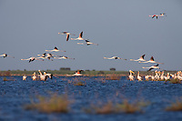 Greater Flamingos in flight over Lake Xau