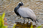 Demoiselle Crane is very abundant in central Asia and will migrate as far east as Africa. This one was captive on Kaua'i Hawaii near Poi'pu Bay.