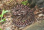Slender Hog Nosed Pit Viper Snake, Porthidium ophryomegas, Central America, venomous, pitviper, on forest floor.Central America....