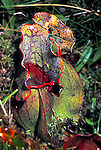 Pitcher plant Sarracenia purpurea insectivorious insect eating bog plant
