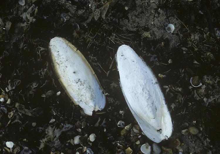 Common Cuttlefish bones - Sepia officinalis