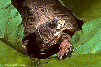 1R40-021x  Eastern Box Turtle - Terrapene carolina